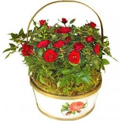 Rosensträucher rot