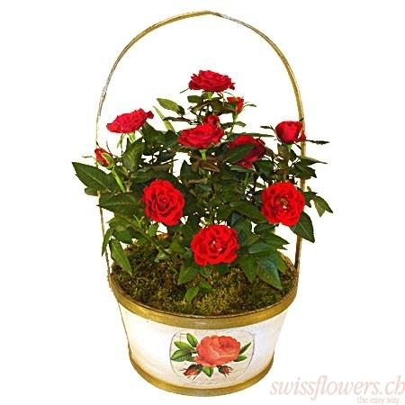 Panier de rosiers rouges