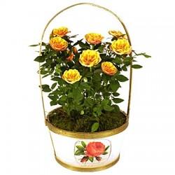 Rosenstrauch orange