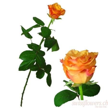 Roses Orange