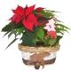 Poinsettia und Tannenzapfen