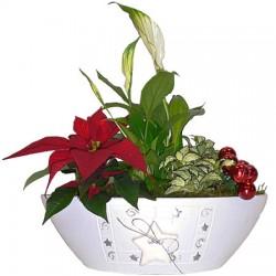 Pflanze Frohe Weihnachten