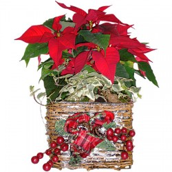 Plant Chirstmas Poinsettia