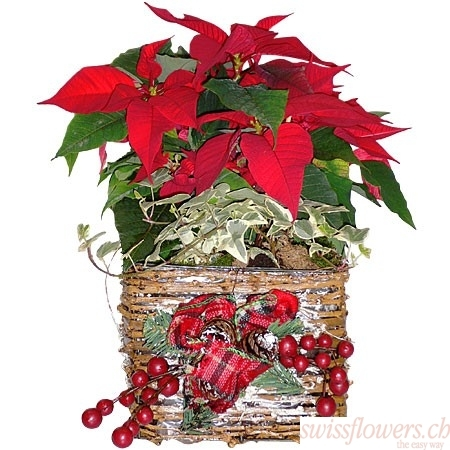 Plant Christmas Poinsettia