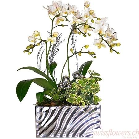 Orchidée de Noël