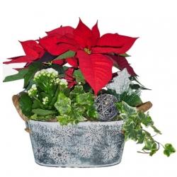 Poinsettia with zinc pot